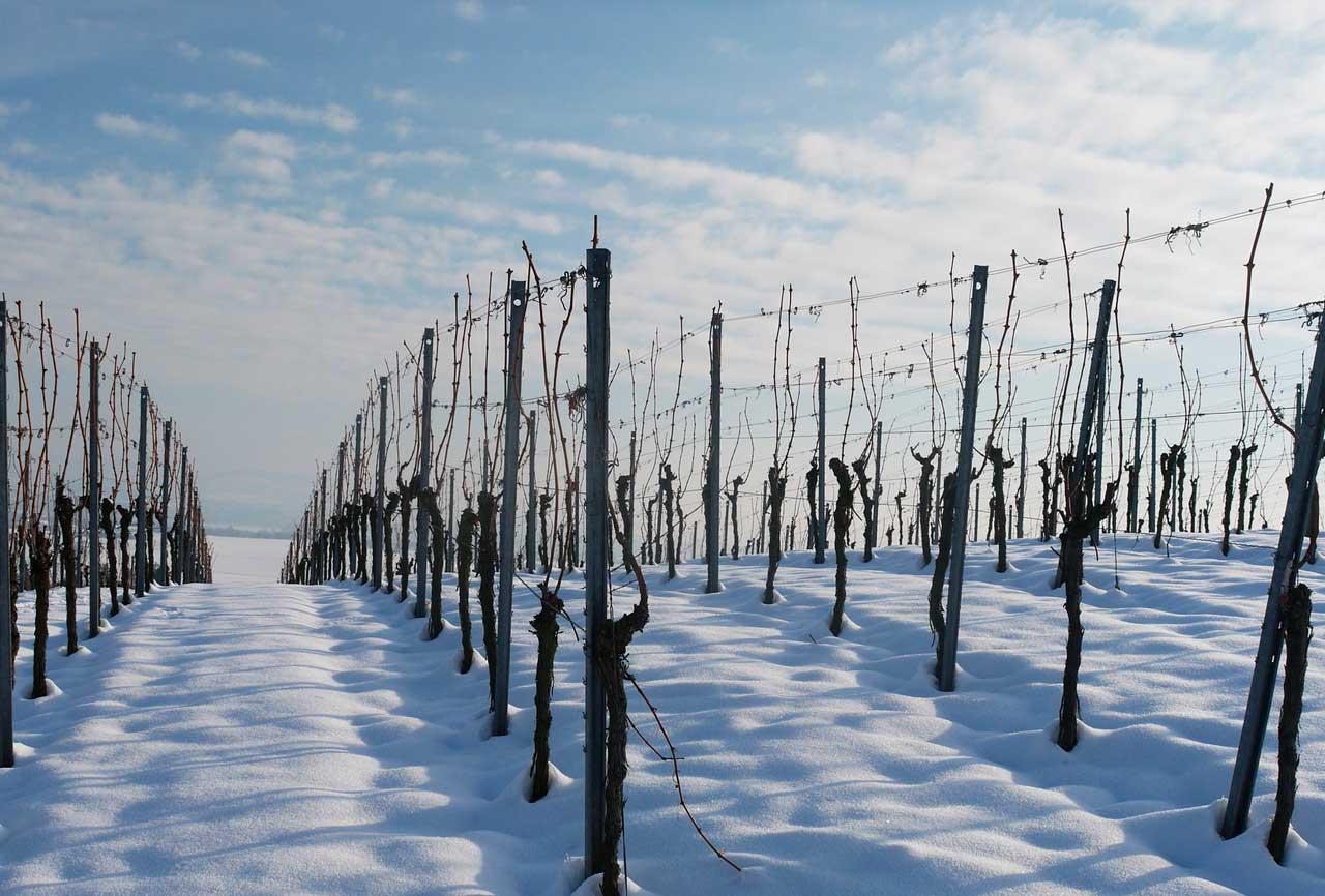 Hoy te presentamos: La viña en invierno
