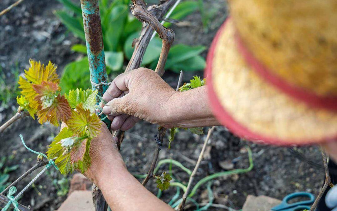 El mundo del vino: Ciclo vegetativo de la vid en primavera